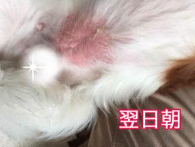 犬の脂漏症状2日目